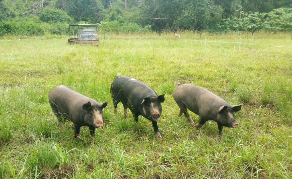 ethical pasture raised pork
